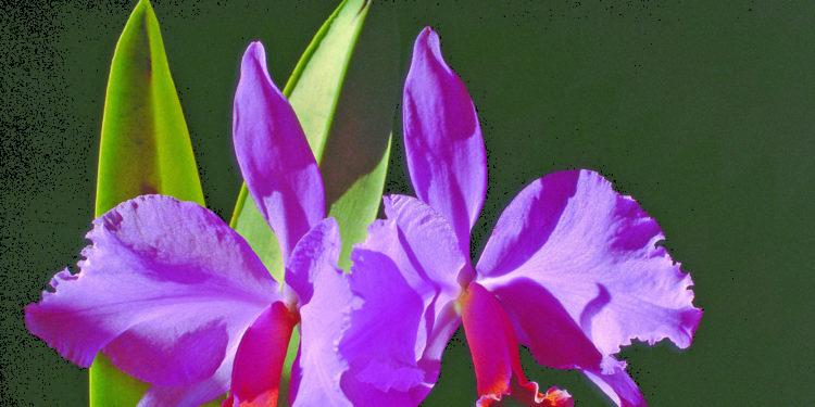 Flor de Mayo Foto: Karl Weidmann