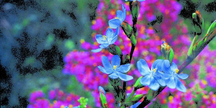 Flores andinas Foto: Karl Weidmann