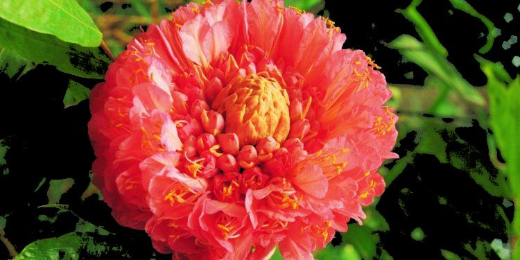 Rosa de montaña Foto: Karl Weidmann