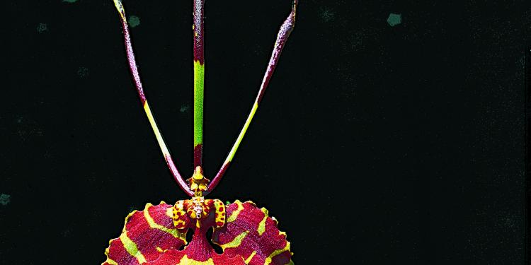 Orquídea XX Foto: Karl Weidmann